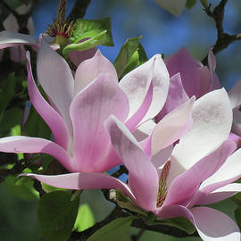 Spring in Southern Oregon - Japanese Magnoia Blossoms - Floral Photography by Brooks Garten Hauschild