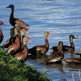 Springtime Whistling Ducks by Donna Kennedy