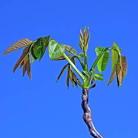 Sprouting walnut twig by Tibor Tivadar Kui