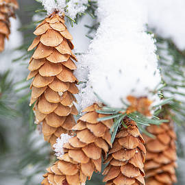 Spruce Cones And Snow by Karen Rispin