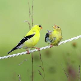 Squabbling Goldfinches  by Michael Nolen