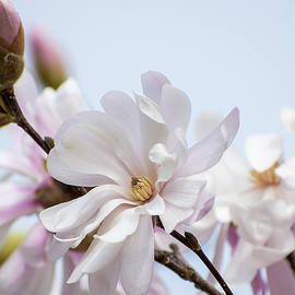 Star Magnolia by Mary Ann Artz
