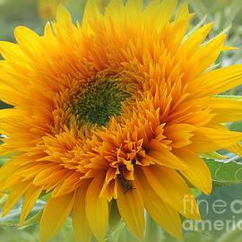 Starburst Sunflower by Dora Sofia Caputo
