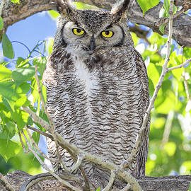 Stare down with Great Horned Owl by Lowell Monke