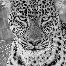 Stare of a Leopard by Eric Albright
