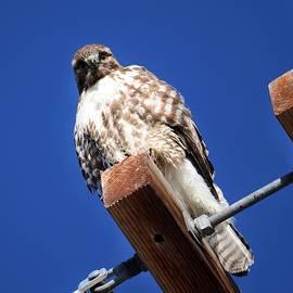 Staring Hawk by Dana Hardy