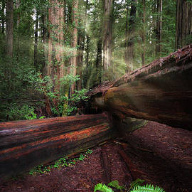 Stout Grove Oregon Redwoods by Michele Hancock