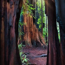 Redwood Tree Window Jedediah Smith State Park by Michele Hancock