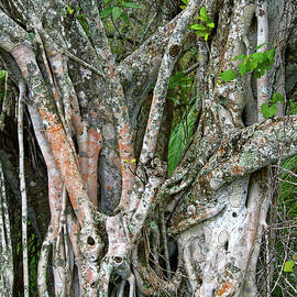 Strangler Fig by Sally Weigand