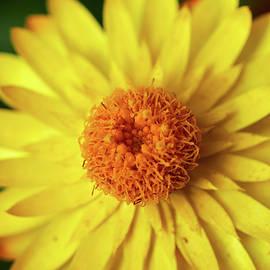 Strawflower close-up by Jouko Lehto