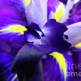 Striking Purple Iris by Amy Dundon