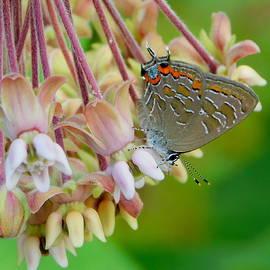 Striped Hairstreak Butterfly on milkweed by Karen Cook