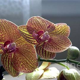Stripped Yellow Orchid by Margie Avellino