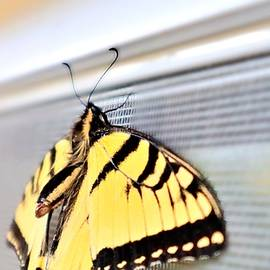 Stunning Tiger Swallowtail Butterfly Photo