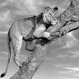 Subadult Lion Portrait - Monochrome by Eric Albright