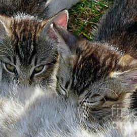 Suckling tabby kittens by Tibor Tivadar Kui