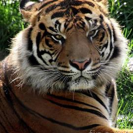 Sumatran Tiger-8214 by Gary Gingrich Galleries