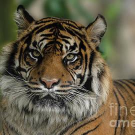 Sumatran Tiger Close-Up by Rawshutterbug