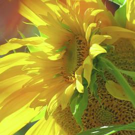 Summer Breeze Makes Me Feel Fine Sunflowers - Floral Photography - Beautiful Yellow Flowers by Brooks Garten Hauschild