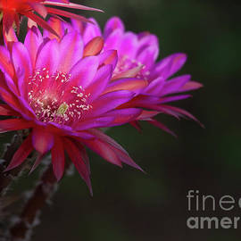 Summer day cactus flowers by Ruth Jolly