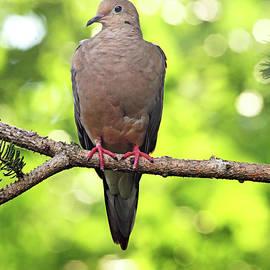 Summer Dove by Debbie Oppermann