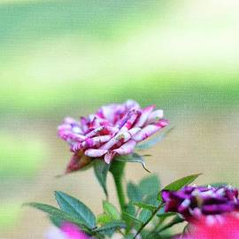 Summer Garden Mini Roses  by Adrian De Leon Art and Photography