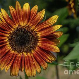 Summer Sunflower by Linda Howes