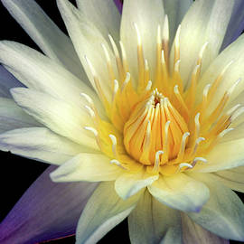 Summer Water Lily by Don Johnson