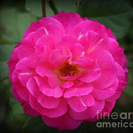 Summertime Beauty - Hot Pink Rose by Dora Sofia Caputo