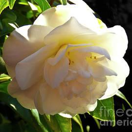 Sun Backed Camellia by Julieanne Case