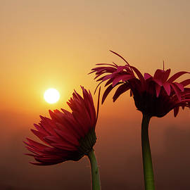 Sun rising from Gerbera by Ameya M