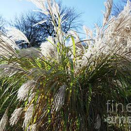 Pampas Grass  by Johanna Zettler