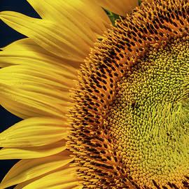 Sunflower 3 by Dimitry Papkov