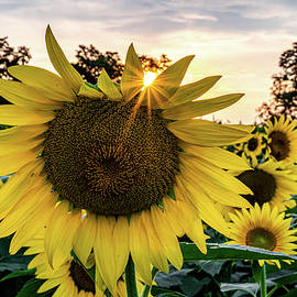 Sunflower at Sunset by Michael Hills