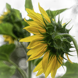 Sunflower Back View  by Mary Lynn Giacomini