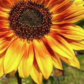 Sunflower Beauty by Debra Martz
