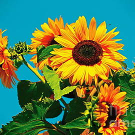 Sunflower Bloom by Loretta S