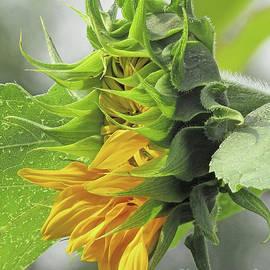 Sunflower Bud To Bloom by Kim Tran