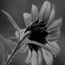 Sunflower BW by I'ina Van Lawick