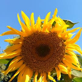 Sunflower, Digital Photography by Jafeth Moiane