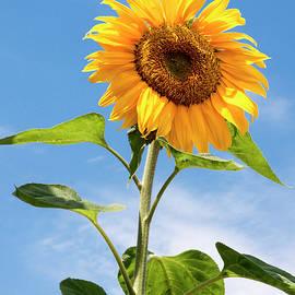 SunFlower Enjoying The Sunshine by Her Arts Desire