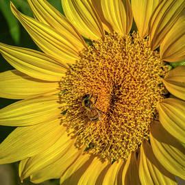 Sunflower Feeding by Janice Pariza