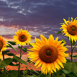 Sunflower Field At Sunset Panoramic by Gill Billington