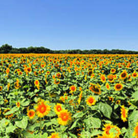 Sunflower Field Pano by Jenny Revitz Soper