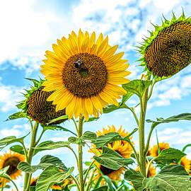 Sunflower Field by Sandi Kroll