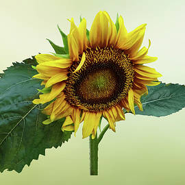Sunflower Glancing Down by Susan Savad