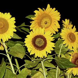 Sunflower Group by Sally Weigand