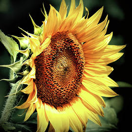 Sunflower Head Concentration by Bill Swartwout