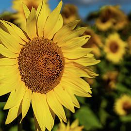 Sunflower Highlighted by Varma Penumetcha