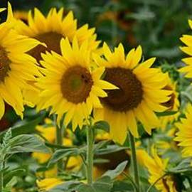 Sunflower Line-up by Jimmy Chuck Smith
